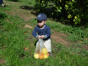 picking oranges in san diego