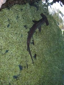hammerhead shark at the maui ocean center