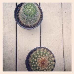 Cacti for a terrarium