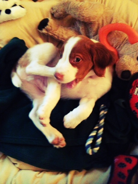 Baby Brittany dog picture